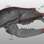 bear skull 3d model longitudinal section