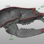 bear skull 3d model longitudinal section