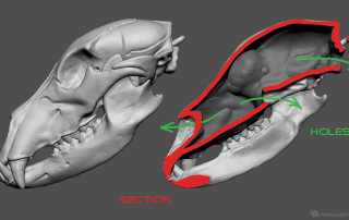 Bear skull high poly Hollow 3d model. Section
